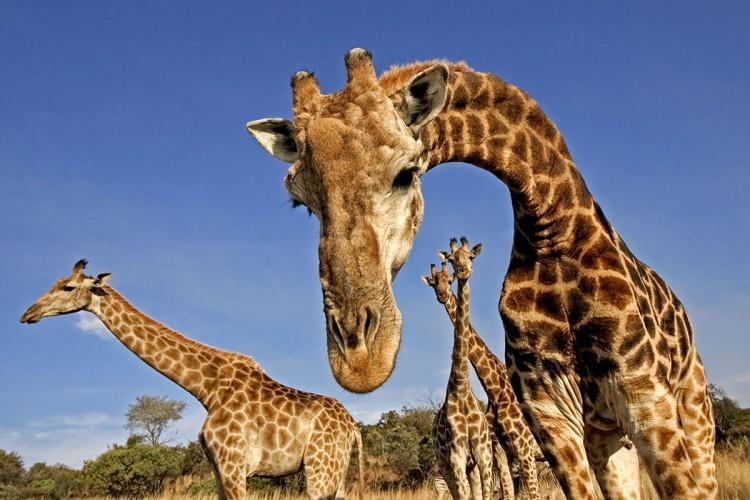 Giraffes Do What in the Night…?
