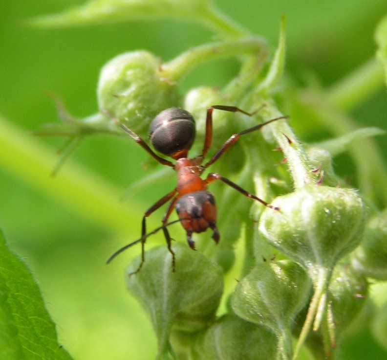 Astounding Study: These Ants Don't Age