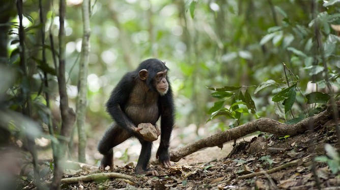 Mysterious chimpanzee behaviour may be evidence of 'sacred' rituals [Video]