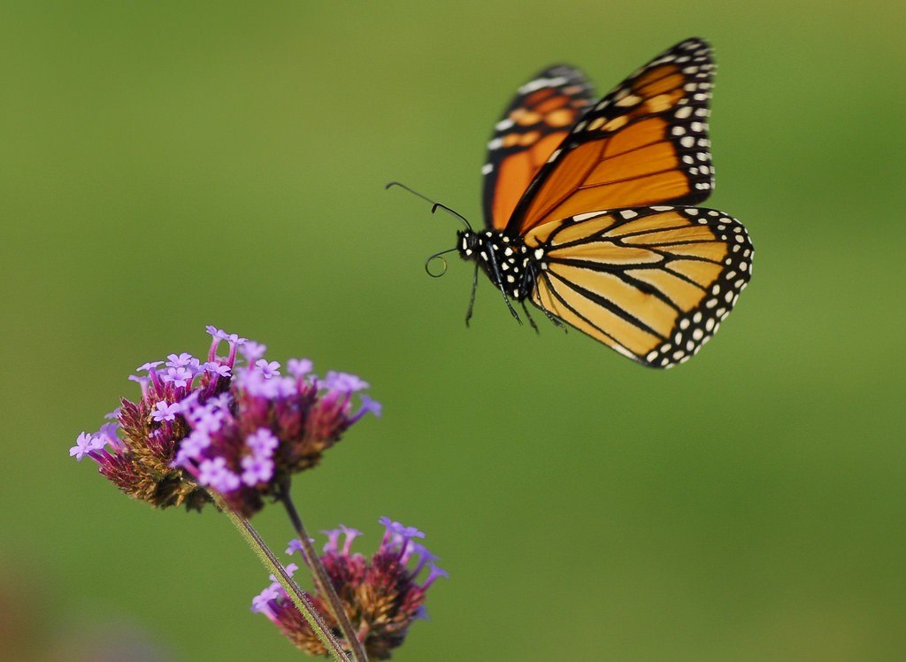 How Monarch Butterflies Make it to Mexico Without a Map