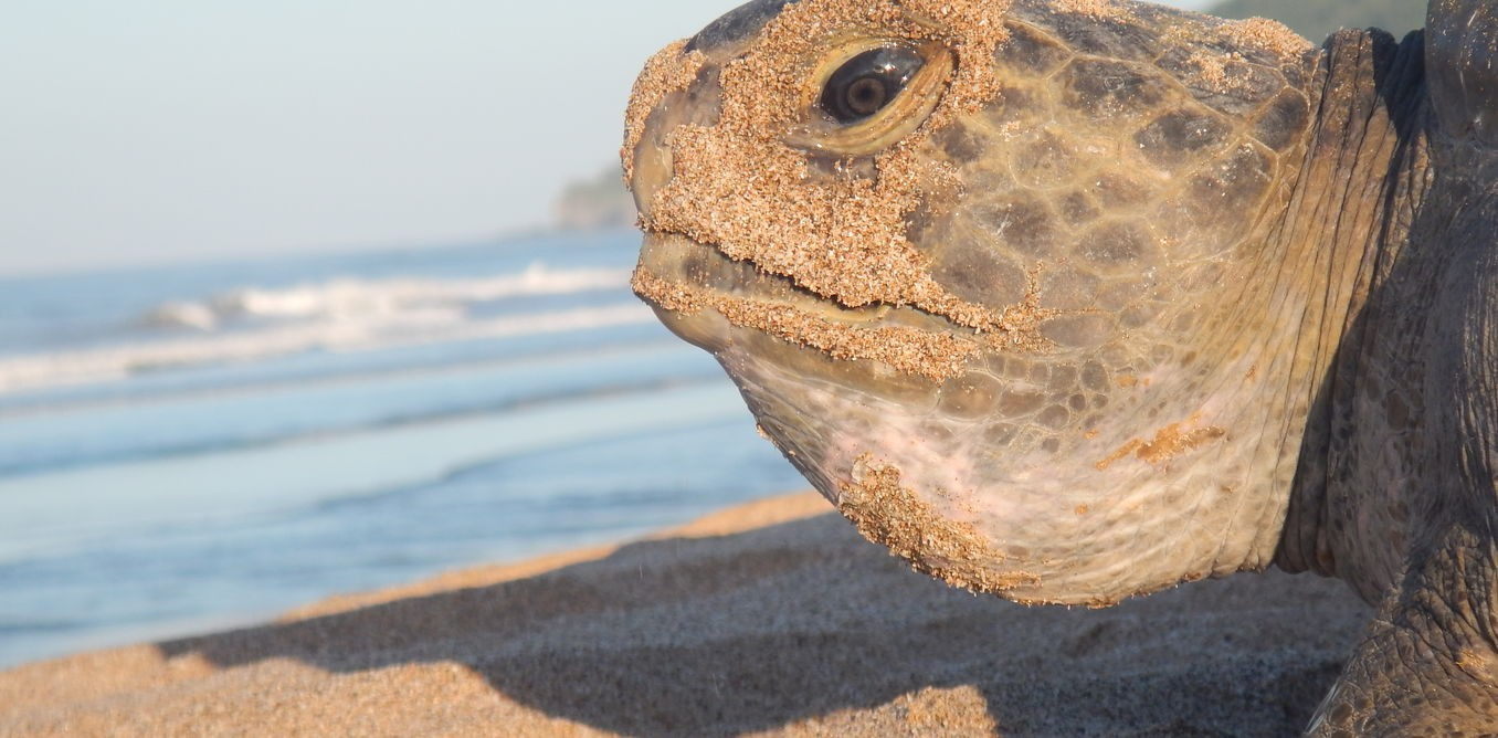 Sea turtle 'hitchhikers' could play an important role in conservation