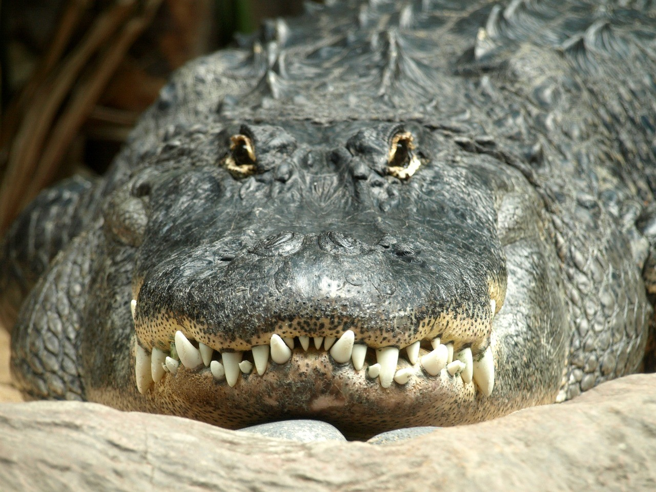 Alligators Are Ancient: New Studies Show They Haven't Evolved for Over 8 Million Years