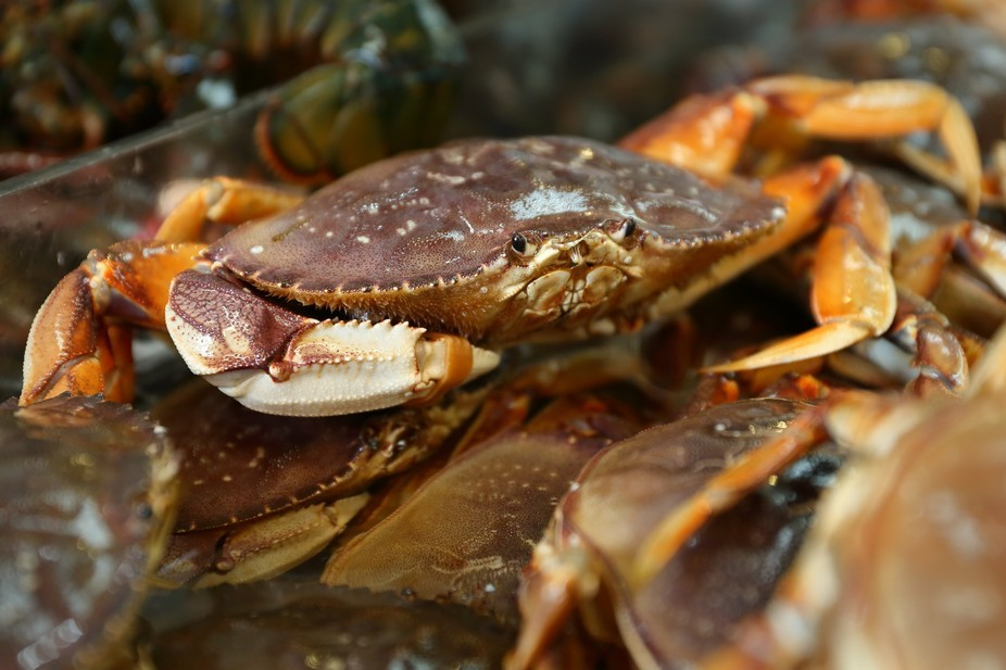 As climate change alters the oceans, what will happen to Dungeness crabs?