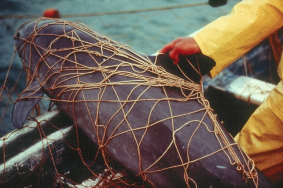 Why the current plan to save the endangered vaquita porpoise won't work