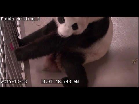 Giant Panda Cubs Born at Toronto Zoo