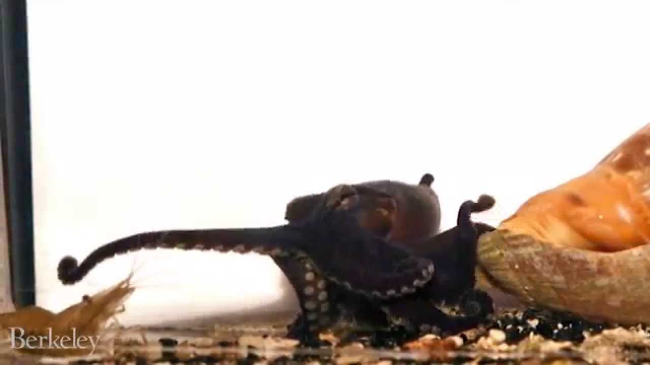 [Video] This Octopus has an Odd Way of Grabbing a Meal
