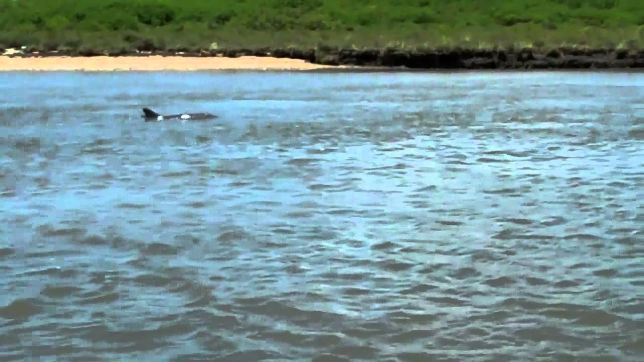 [Video] Weird Rare Pink Dolphin Surfaces Again